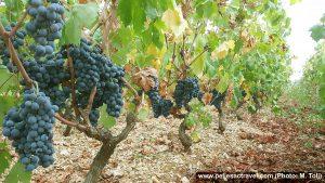 Dingac Grapes