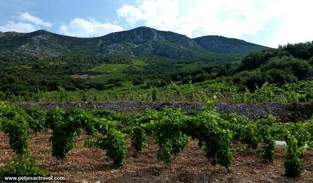 Spring @ Gornji Dingac Vineyards
