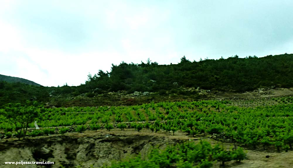 Rainy Day among Peljesac Vineyards