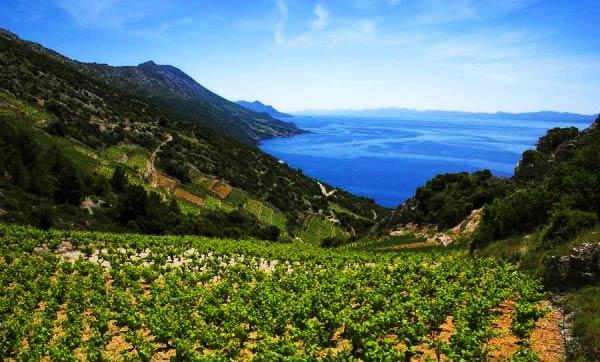 vineyard-bartulovic-peljesac