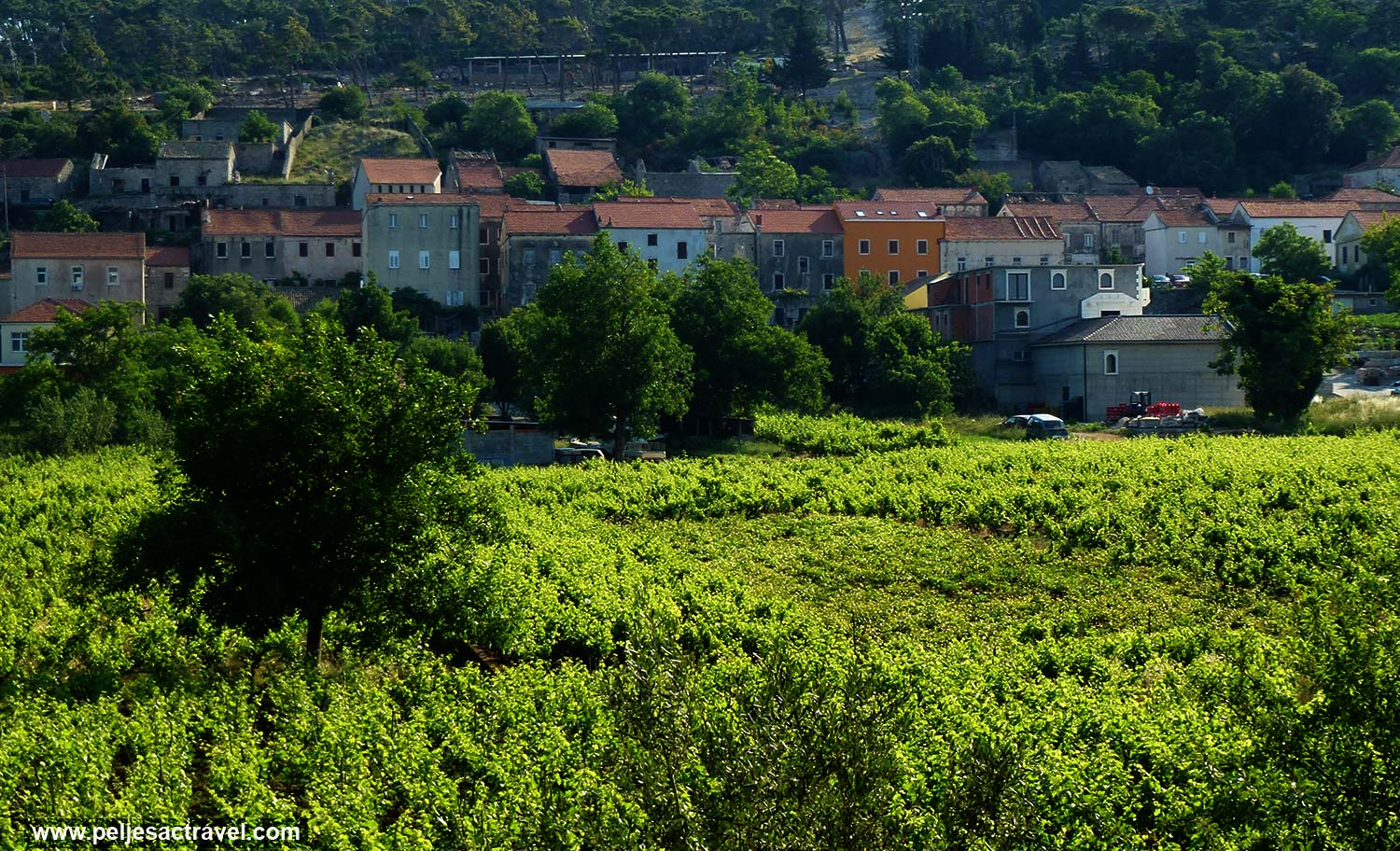 Vineyard in Kuna, Peljesac