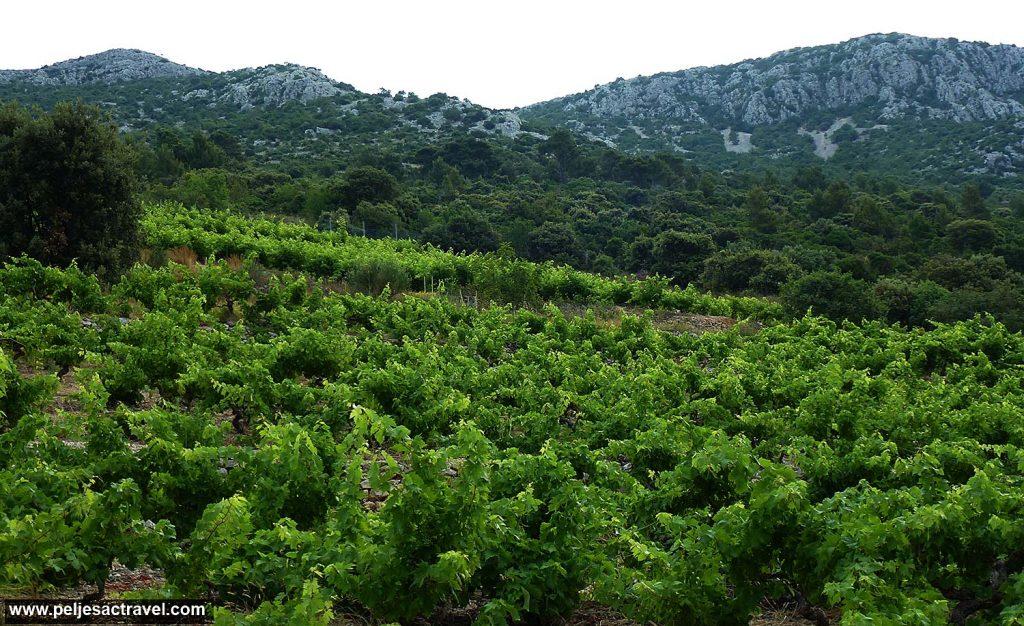 Vineyard in Postup, Peljesac